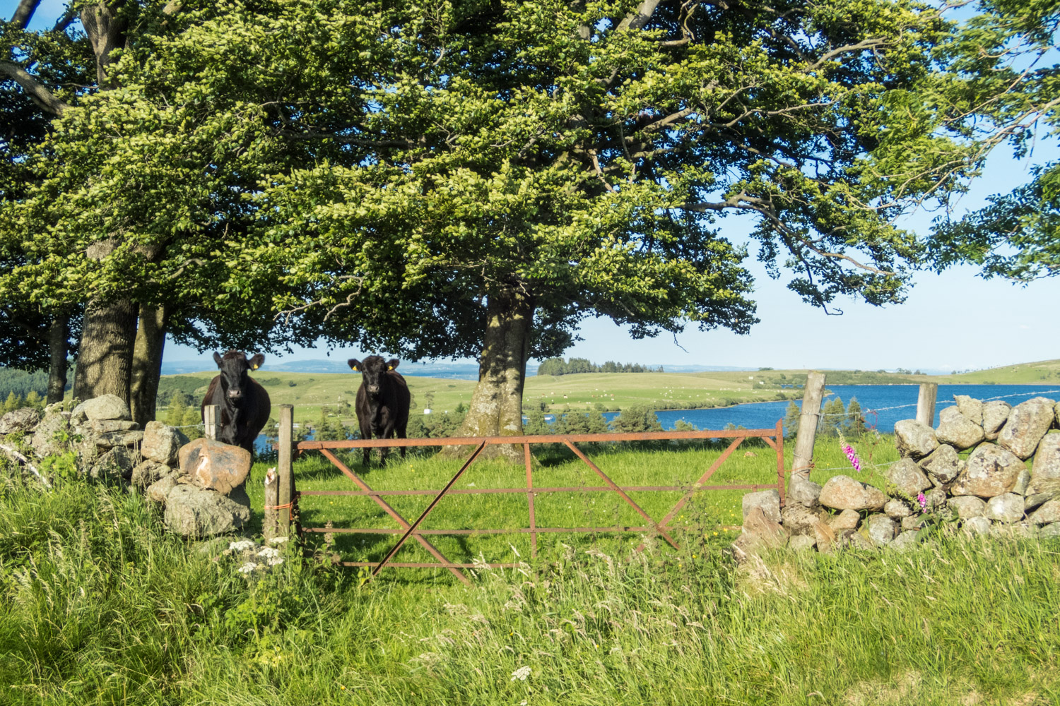A couple of cows by Loch Coulter.